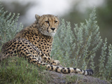 Portrait of a Cheetah, Acinonyx Jubatus, Resting Photographic Print by Roy Toft
