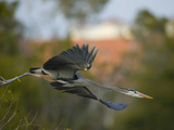 A Great Blue Heron, Ardea Herodias, in Flight Photographic Print by Paul Sutherland