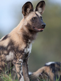 An African Wild Hunting Dog Standing Alert Photographic Print by Roy Toft