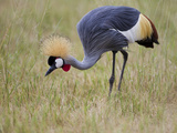 Portrait of a Grey-Crowned Crane, Balearica Regulorum Photographic Print by Roy Toft