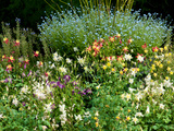 Garden Patch with Columbines and Forget-Me-Nots, in Springtime Photographic Print by Darlyne A. Murawski