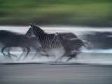 Plains Zebras Speed across the Serengeti Plain Photographic Print by Jim Richardson