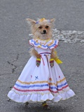 A Dog in Traditional Colombian Country Dress at the Silleteros Parade Photographic Print by Kike Calvo