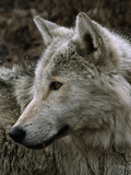 A Watchful Beta Male Gray Wolf in the Rain Reproduction photographique par Jim And Jamie Dutcher