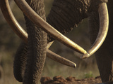 Close Up of Two African Elephants, Loxodonta Africana Photographic Print by Beverly Joubert