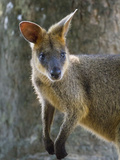 A Wallaby Perks its Ears and Looks Around Photographic Print by Michael Melford