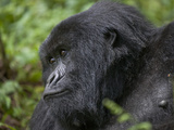 Portrait of a Lowland Gorilla, Gorilla Gorilla Photographic Print by Beverly Joubert