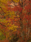 A Maple Tree in Fall Colors Photographic Print by Greg Winston