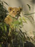 Lion Cub, Panthera Leo, Exploring its Enclosure Photographic Print by Paul Sutherland
