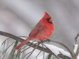 A Male Northern Cardinal with Fluffed Up Feathers in a Snowstorm Photographie par George Grall
