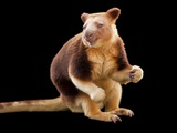 An Endangered Goodfellow's Tree-Kangaroo, Dendrolagus Goodfellowi Photographic Print by Joel Sartore