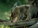A Female Gray Wolf Pup Explores Log Photographic Print by Jim And Jamie Dutcher