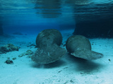 Manatees Swim Gently Just under the Surface in Three Sisters Spring Photographic Print by Mauricio Handler