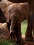 A Wild-Born Elephant Calf Lámina fotográfica por Nichols, Michael