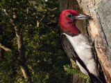 A Red-Headed Woodpecker Perches by its Nest Cavity Photographic Print by Joel Sartore