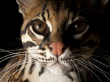 A Federally Endangered Ocelot, Leopardus Pardalis Photographic Print by Joel Sartore