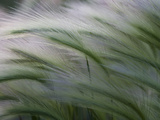 Close-Up of Foxtail Grass Blowing in the Wind Photographic Print by Greg Winston