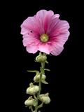 A Common Hollyhock Flower, Alcea Rosea Photographic Print by Joel Sartore