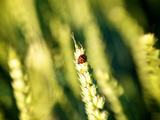 A Ladybug on the Seed Head of a Grain Plant Photographic Print by Heather Perry