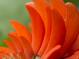 A Coral Tree Flower, Erythrina Species Photographic Print by Michael Melford