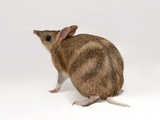 An Eastern Barred Bandicoot, Perameles Gunnii Photographic Print by Joel Sartore