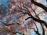 Canopy of Weeping Higan Cherry Trees, Prunus Subhirtella Var. Pendula Photographic Print by Darlyne A. Murawski