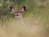 Portrait of a Greater Kudu, Tragelaphus Strepsiceros Photographic Print by Roy Toft