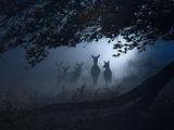 Red Deer, Cervus Elaphus, Gathering on a Misty Morning Fotografisk tryk af Alex Saberi