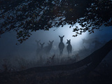 Red Deer, Cervus Elaphus, Gathering on a Misty Morning Photographic Print by Alex Saberi