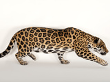 A Near Threatened Jaguar, Panthera Onca, at the Omaha Zoo Photographic Print by Joel Sartore