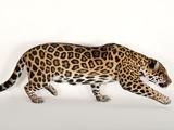 A Near Threatened Jaguar, Panthera Onca, at the Omaha Zoo Photographic Print by Joel Sartore