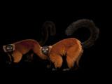 An Endangered Red Ruffed Lemur, Varecia Variegata Rubra Photographic Print by Joel Sartore
