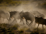 A Herd of Wildebeests Kick Up Clouds of Dust on the Serengeti Plain Photographic Print by Jim Richardson