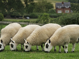 The Distinctive Black and White Faces of Kerry Hill Sheep Photographic Print by Jim Richardson