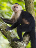 A White-Headed Monkey Pauses from a Climbing a Tree for a Photo Photographic Print by Michael Melford