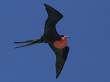 A Male Frigatebird Expands its Gular Pouch to Attract a Mate Photographic Print by Michael Melford