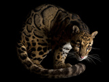 An endangered clouded leopard, Neofelis nebulosa, at the Houston Zoo. Photographic Print by Joel Sartore