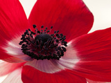 Close Up of a Red Anemone Flower Photographic Print by Darlyne A. Murawski