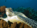 Green Turtle, Chelonia Mydas, at Rest in the Coral, Gili Islands Photographic Print by Paul Sutherland