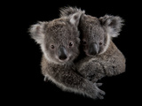 A Pair of Federally Threatened Koala Joeys Snuggle Together Photographic Print by Joel Sartore