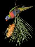 A Rainbow Lorikeet, Trichoglossus Haematodus Photographic Print by Joel Sartore