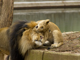 Male Lion and Lion Cub, Panthera Leo, Socializing in their Enclosure Photographic Print by Paul Sutherland