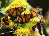 Monarch Butterflies, Danaus Plexippus, Resting on a Flower Photographic Print by Roy Toft