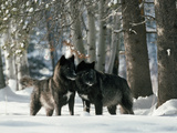 Black Gray Wolves in a Curious and Playful Stance Reproduction photographique par Jim And Jamie Dutcher