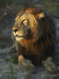 Portrait of a Lion, Panthera Leo, Resting in Late Evening Sunlight Photographic Print by Bob Smith