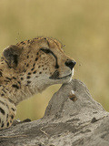 A Cheetah, Acinonyx Jubatus, with Flies Buzzing About it's Head Photographic Print by Bob Smith