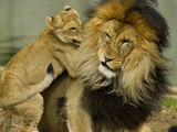 A Lions and Cub, Panthera Leo, Socializing in their Enclosure Photographic Print by Paul Sutherland