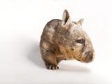 A Southern Hairy-Nosed Wombat, Lasiorhinus Latifrons Fotografisk tryk af Joel Sartore
