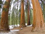 A Woman in Between Giant Sequoia Trees Gives Scale to their Size Lámina fotográfica por Mike Theiss