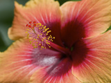 Close Up of a Cultivated Hibiscus Flower Photographic Print by Tim Laman